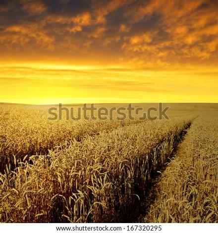 sunset over wheat fields  #167320295