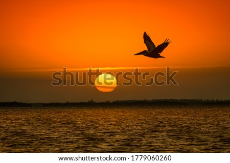 Sunset pelican fly silhouette. Pelican flying at sunset. Sunset pelican fly