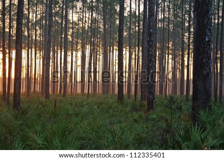 sunset pine forest