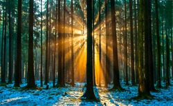 Sunset rays among the trunks of forest trees
