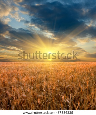 Sunset scene on cereals field