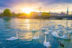 Sunset scene over lake Zurich and white swans with downtown background, Zurich, Switzerland.