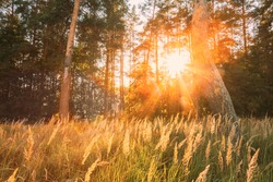 Sunset Sunrise In Pine Forest Landscape. Sun Sunshine With Natural Sunlight Through Wood Tree In Evening Forest. Beautiful Scenic View. Autumn Nature.
