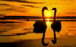 Sunset swan couple silhouettes. Swans sunset water. Sunset swans in love. Swans sunset silhouette