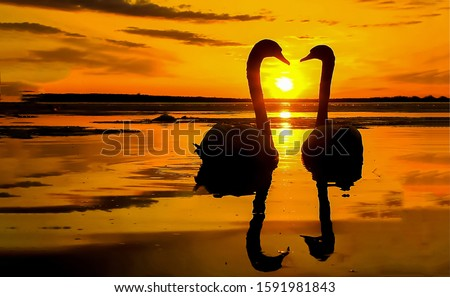Photo of  Sunset swan couple silhouettes. Swans sunset water. Sunset swans in love. Swans sunset silhouette