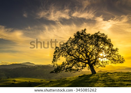 Sunset through an oak tree near San Jose California #345085262