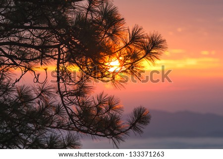 Sunset through pine branches. Nature background.