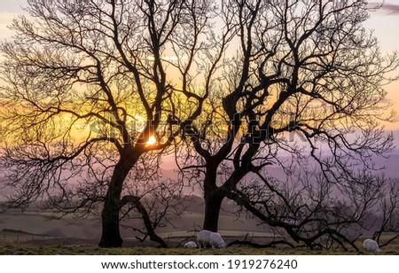 Sunset tree branches in winter scene. Winter sunset on farm. Winter sunset farm trees. Sunset farm scene