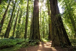 Sunset Views in the Founders Redwood Grove in Humboldt Redwoods State Park, California