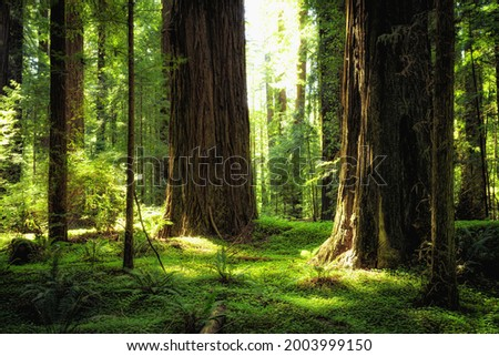 Sunset Views in the Founders Redwood Grove in Humboldt Redwoods State Park, California ストックフォト ©
