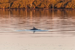 Sunset waterscape and dophin swimming in Tilligerry Creek at Lemon Tree Passage in Port Stephens, NSW, Australia.