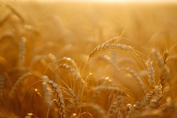 Sunset wheat golden field in the evening. Growth nature harvest. Agriculture farm.