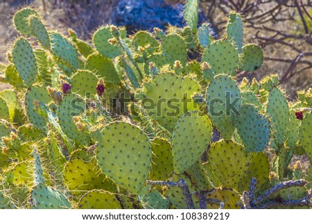 sunset with beautiful green cacti in desert landscape