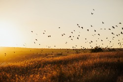 Sunset with flying birds over the field. Environment concept. Silhouette of birds flying on meadow in summer sunset  in an orange sky with a shining sun  over field.