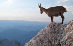 sunset with mountain goat - Alpine Ibex - in Julian Alps