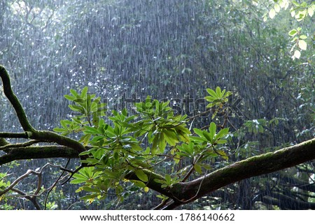 Photo of  Sunshine and downpour of heavy rain  in woodland with backlit leaves