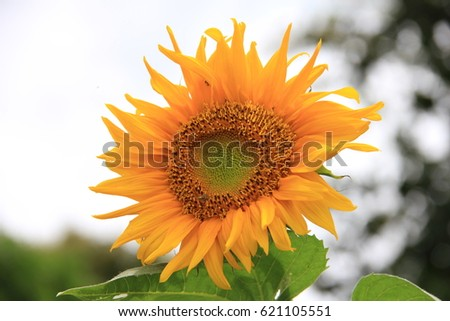 sunshine and sunflower #621105551