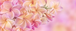 Sunshine bokeh blossom banner, Light shines on the blossoming Plumeria flowers and water drops after rain. Frangipani flower with color filters on soft pastel color in blur style for cards background