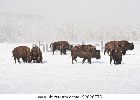 Sunshine peaks through as bison graze in winter