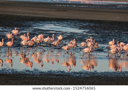 Sunsut. Africa. Atlantic coast of Namibia. Flock of magnificent white-pink flamingos feed themselves in coastal silt. Concept of eco-friendly, active, photo tourism and birdwatching