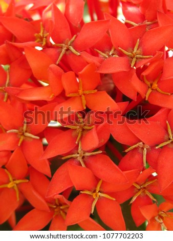 "Suntan ""Ixora"" Flower #1077702203"