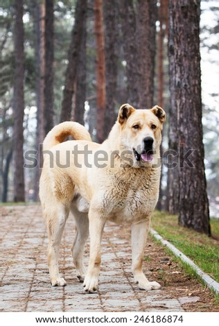 super big 105 kg. young alabai dog posing in the park