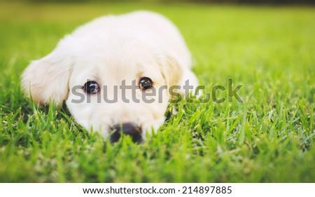 Super Cute Adorable Golden Retriever Puppy in the Yard