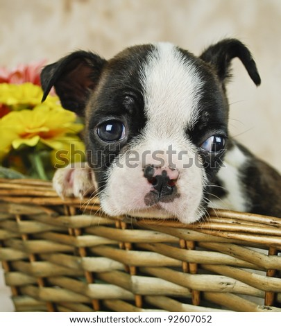 Super cute black and white Boston puppy laying his head on his paw with flowers in the background.