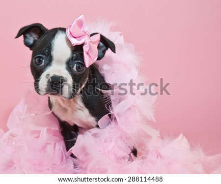 Super cute Boston Terrier puppy wearing a boa and a little pink bow, on a pink background.