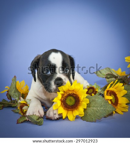 Super cute Bulldog puppy that looks like she is smelling a sunflower with big, adorable puppy eyes. On a purple background with copy space.