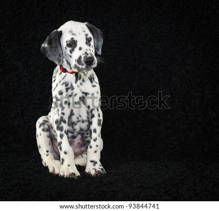 Super cute Dalmatia puppy sitting on a black background with copy space.