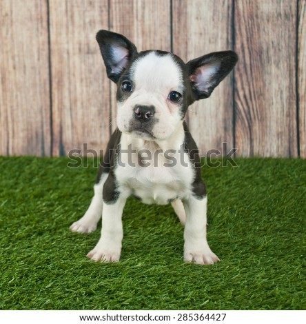 Super cute Fenchton puppy standing in the grass outdoors with a sweet look on his face.
