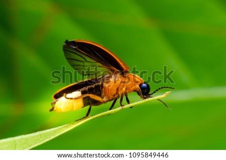 Super macro close up firefly - Shutterstock ID 1095849446