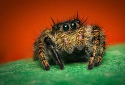 Super macro close up Phidippus regius jumping spider