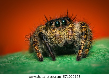Super macro close up Phidippus regius jumping spider #571022125