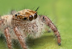 Super macro image of baby jumping spider (Hyllus diardi), very clear eyes