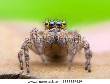 Super macro image of Jumping spider(Salticidae) at high magnification, very sharp and detailed, eye and face very clear.This wildlife spider from asian thailand. Take image with macro equipment. Photo stock ©