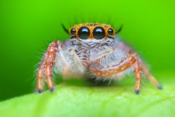 Super macro image of Jumping spider (Salticidae, Hyllus diardi female), at high magnification, Good sharpen and detailed, eye and face very clear.This wildlife insect from asia thailand.