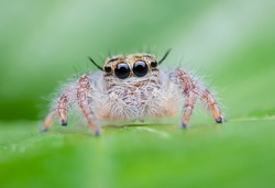 Super Macro Jumping Spider, Hyllus diardi, Woman Jumping On green Background.Beautiful Jumping Spider.