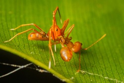 Super macro of  Ant-mimic Crab Spider (Amyciaea lineatipes) bite and killing Green tree ant  in real nature in Thailand.
