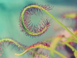 super macro of beautiful sundew ( drosera ) vintage style  Floristic abstract background