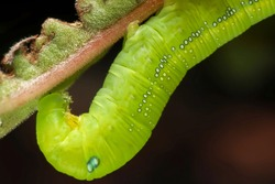 Super macro photo of Green worm caterpillars eating the green leaf. Animal wildlife concept.