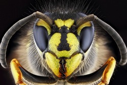 Super macro portrait of a wasp on a black background. Full-face macro photography. Large depth of field and a lot of details of the insect.
