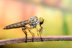 Super macro Robber fly with prey