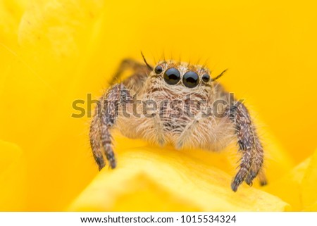 Stock Photo Super macro young female Hyllus diardi or Jumping spider hiding inside yellow flower