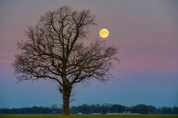 Super-moon during sunrise with a green fields and lonely tree silhouette.