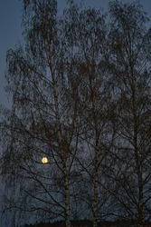 Super moon, full moon at dawn between trees