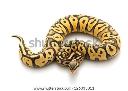 Super pastel ghost ball python (Python regius) isolated on white background.