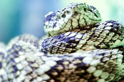 super snakes ground level view of a very dangerous viper species super snakes color eye macro wildlife colour brown animal scared danger nature ecuador texture reptile isolated life exotic wild detail