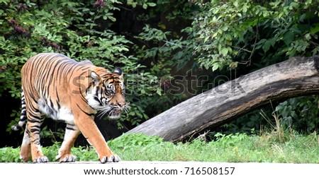 Super Tiger #716508157